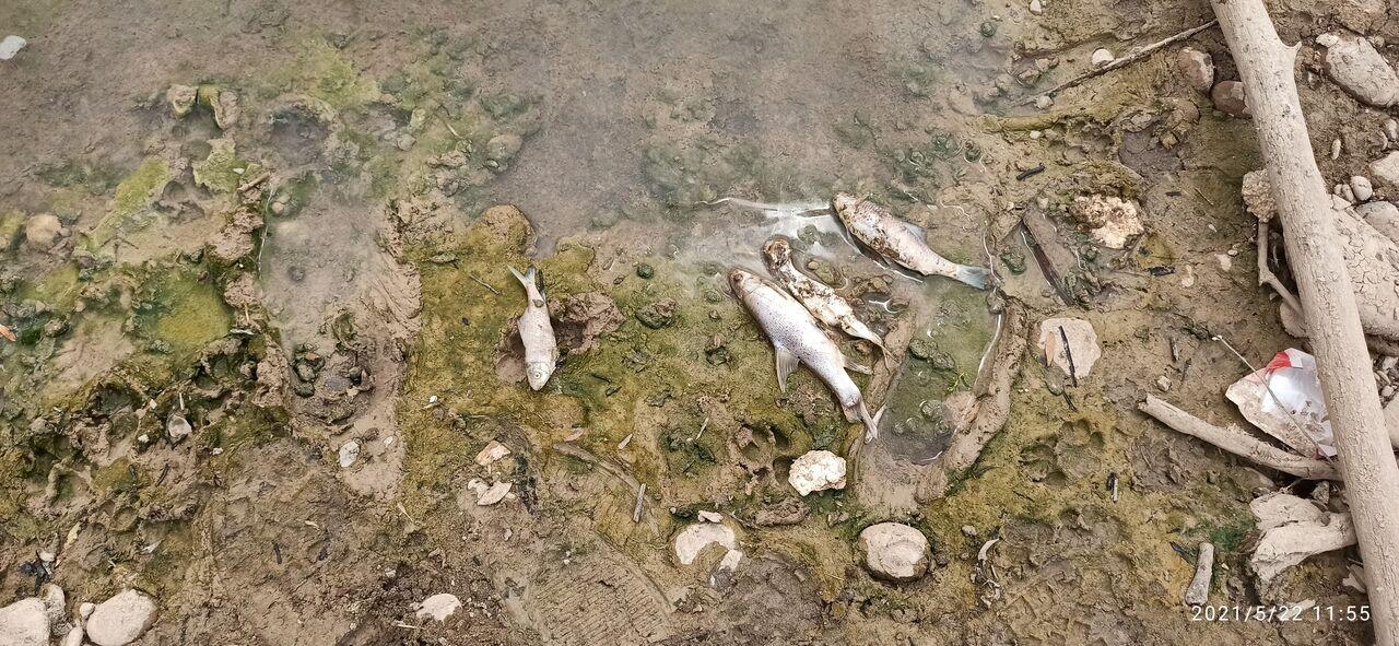 تلف شدن هزاران قطعه از آبزیان رودخانه دز
