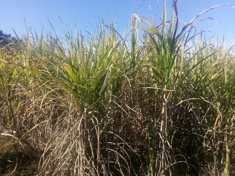 خسارت دیدن ۷۰ درصد مزارع هفت تپه به علت کم آبی