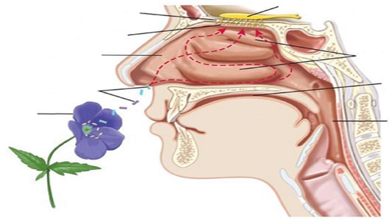 راه درمان از بین رفتن حس بویایی درکروناییها چیست؟